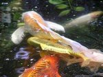 How Do Koi Fish Give Birth?