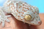 how-geckos-adapt-their-environment