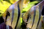 how-angelfish-reproduce