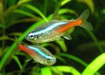 How to Breed the Neon Tetra