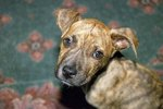 How to Potty Train Pit Bull Puppies
