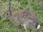 How to Raise Domestic San Juan & Cottontail Rabbits