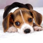 Natural Remedies for Dog Ear Mites
