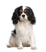 How to Bathe and Groom a Cavalier King Charles Spaniel