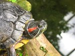 How to Set Up a Red-Eared Slider Turtle's Tank