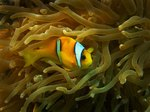 How to Tell If a Saltwater Clown Fish Is Pregnant