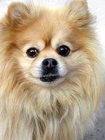 Facts About Teacup Pomeranians