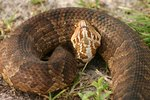 What Is the Predator of a Water Moccasin?