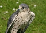 Life Cycle of Peregrine Falcons