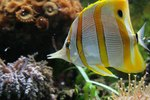 What Is the Functional Adaptation of a Butterfly Fish?