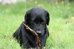 Black Lab Dog Facts