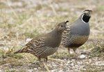 How to Tell a Male & Female Quail Apart