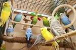 Signs of Pregnancy in a Budgie