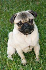 Signs & Symptoms of a Pregnant Pug Dog