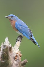 How and Where to Hang Bluebird Nesting Boxes