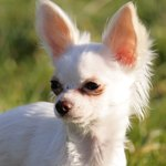 What Are the Symptoms of Kidney Failure in the Chihuahua Breed of Dog?
