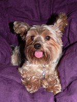 What Does it Mean When Yorkies Stick Out Their Tongue?