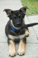 How to Train German Shepherd Puppy
