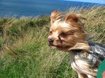 Treatment for Coughing in Yorkie Dogs