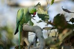 How to Breed Ringneck Parrots