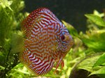 What Are the Signs of Pair Bonding in Discus Fish?