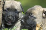 How to Treat Kennel Cough in Newborn Puppies
