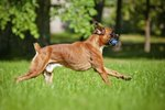 Why Are the Tails Cut on Boxer Dogs?
