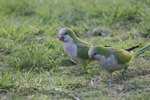 Differences in Male & Female Quaker Parrots
