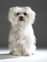 What Is the Life Span of Maltese Dogs?