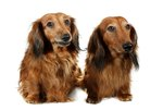 Characteristics of Longhaired Dachshunds