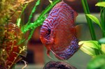 How to Tell if a Discus Fish Is a Male or a Female