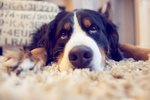 Side Effects of Doxycycline for Dogs