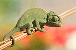 What Fruits & Vegetables Can Chameleons Eat?