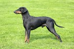 Characteristics of a Chihuahua-Manchester Terrier Mix