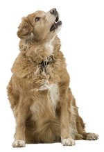 What Are the Causes & Treatment If a Dog Has Low Albumin & Globulin Count?