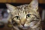 Symptoms of a Feline Brain Tumor
