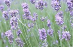 Is a Lavender Plant Poisonous to Dogs?