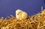 How to Tell the Difference Between Male & Female Baby Chicks