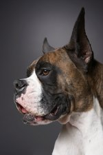 Cancer in Boxer Dogs