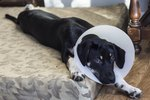 How to Care for a Dog After Neutering Surgery -- The First 24 Hours