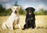 Difference Between Female & Male Labrador Retrievers