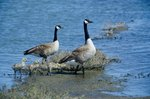 How to Tell Male From Female Canadian Geese