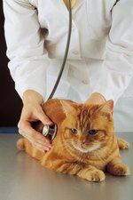 Treatment for a Cat's Anal Prolapse