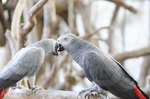 How to Determine Gender of African Grey Parrots