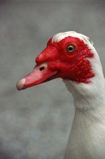 How to Raise Muscovy Ducks