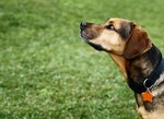 Signs of Tick Fever in Dogs