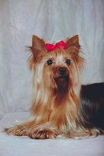 How to Identify a Non-Purebred Yorkie