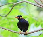 How to Care for a Myna Bird