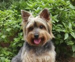 What Are the Causes of Seizures in a Yorkie?