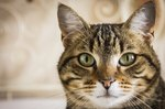How Long Do Tabby Cats Live?